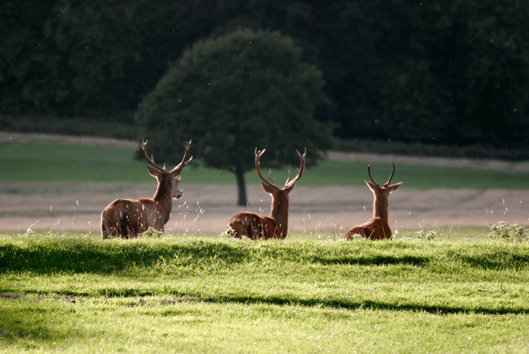 Richmond Park deer London